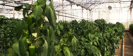 Plantación ecológica de pimientos