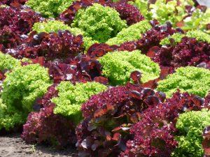 lettuce-1580674_1920