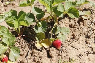Ya se han podido recoger las primeras cosechas.