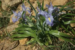 Juno planifolia