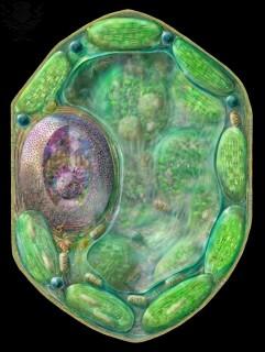 Célula vegetal en la que pueden apreciarse los peroxisomas (esferas azules) RUSSELL KIGHTLEY / SCIENCE PHOTO LIBRARY