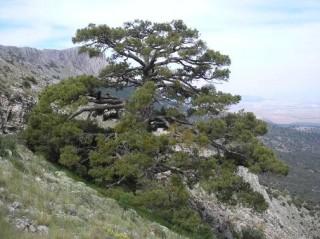 Pino laricio (Pinus nigra Arn. subsp. salzmannii) de aprox. 500 años de edad en el Parque Natural Sierra María-Los Vélez