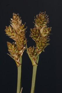 Ejemplar de la Carex lucennoiberica