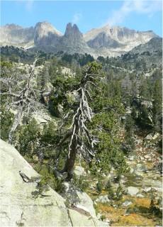 """Individuo viejo de pino negro (Pinus uncinata) muestreado en el Parque Nacional de """"Aigüestortes i Estany de Sant Maurici"""". Foto: J. Julio Camarero."""