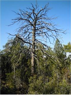 Pino albar (Pinus sylvestris) muerto tras la sequía del año 2012 (Sistema Ibérico, Corbalán, Teruel). Foto: Jesús Julio Camarero.