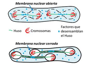 Célula de levadura haciendo dos divisiones (segunda división meiótica). Cuando la barrera nuclear se abre, el Huso se desensambla antes y cada núcleo segrega los cromosomas en el espacio limitado que le corresponde (esquema superior). Con la membrana nuclear íntegra, el huso tarda en desensamblarse y el núcleo invade el espacio colindante (esquema inferior).