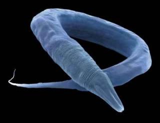 Gusano C. elegans