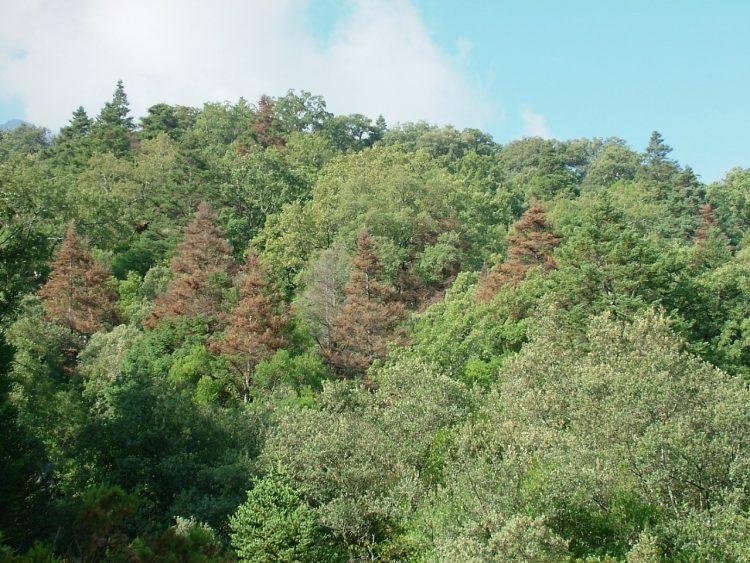 bosque de abetos donde se ha podido comprobar que los árboles que mueren en la actualidad durante períodos de sequía extrema fueron menos resistentes a otras sequías previas