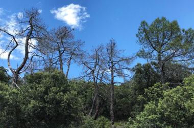 Pinos resineros muertos tras sequías recientes en el Sistema Ibérico (Zaragoza)