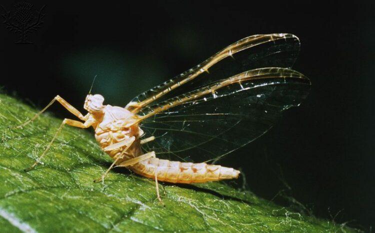 Brown Mayfly (Ephemera vulgata), Ephemeroptera.