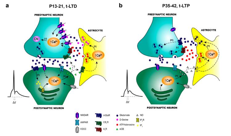 Ilustración sobre el cambio de LTD a LTP en el hipocampo durante el desarrollo